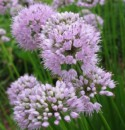 allium-summer-beauty-.jpg