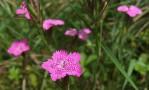 Dianthus deltoïde.jpg