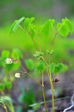 Epimedium youngianum niveum.jpg