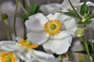 anemone-.jpg