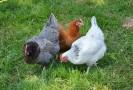 hens-3420126__340.jpg